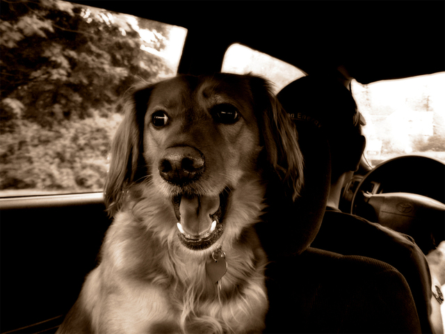 pes za řidičem