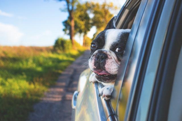 pes co se dívá z okna vozu